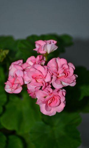 Grainger's Antique Rose
