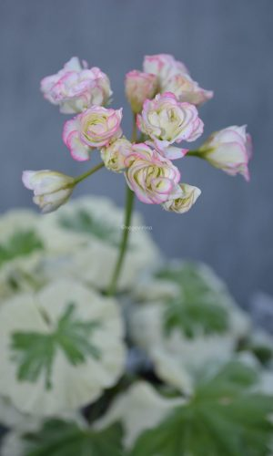 westdale appleblossom