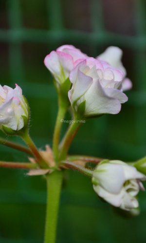 белый розебуд