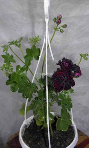Royale Black Rose